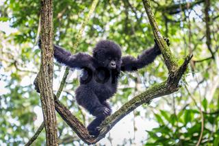 Baby Mountain gorilla climbing in a tree.