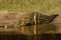 Crocodile goes swimming