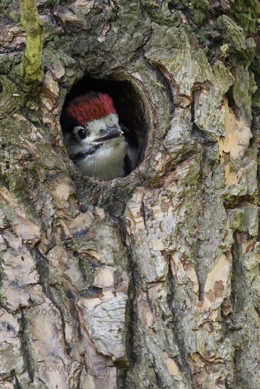 watching out of its nest hole... Great Spotted Woodpecker *Dendrocopos major*