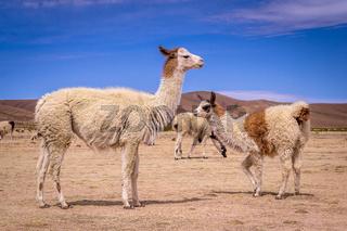 Flock of Lamas Alpacas in altiplano