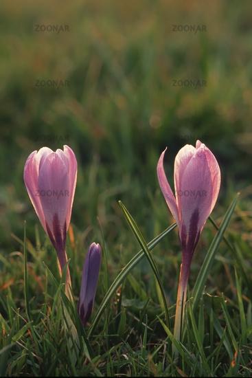 Spring Crocus (Crocus albiflorus)