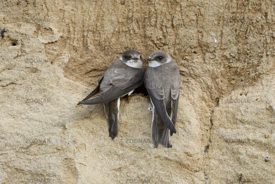 couple... Sand Martins / Bank Swallows  *Riparia riparia*