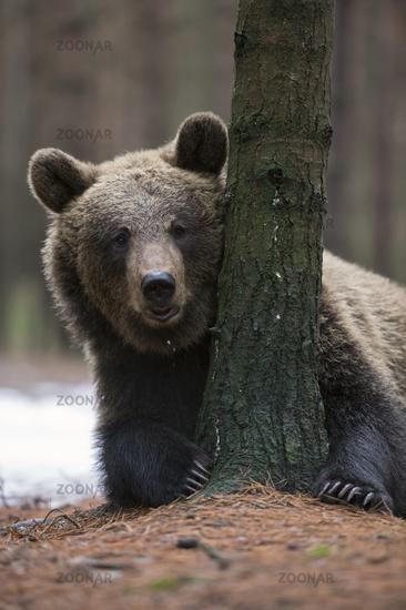 funny guy... European Brown Bear *Ursus arctos*