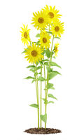 sunflowers plant isolated on white background