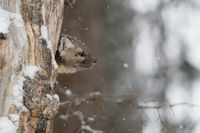 watching out of its dens... American pine marten *Martes americana*