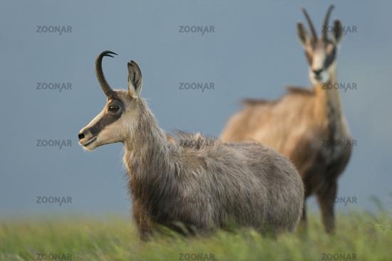 in high grass... Alpine Chamois *Rupicapra rupicapra*