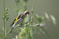 Stieglitz - European Goldfinch - Carduelis carduelis