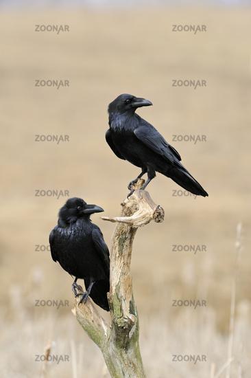 Common Raven * Corvus corax *