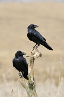 Common Raven * Corvus corax *