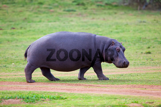 Hippo walking