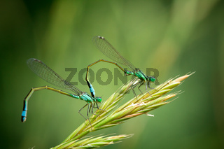 Pair of Common Blue Damselflies