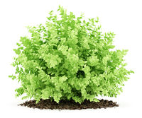 small boxwood plant isolated on white background. 3d illustration