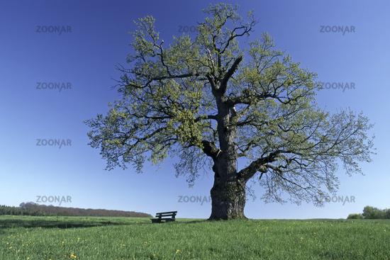 oak handle (summer oak) and bench seat