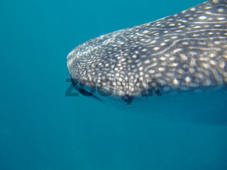 Eye to Eye with a whale shark