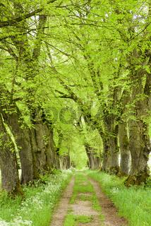 Baumallee mit Fußweg im Frühling