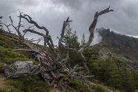Alter Baum auf dem GR20 in Korsika