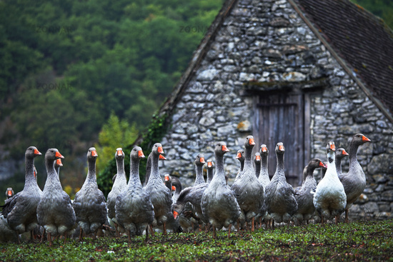 breeding of Perigord geese, Aquitaine, France