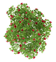 top view of red rose shrub plant isolated on white background