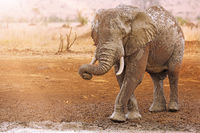 huge african elephant with mud, south africa, wildlife