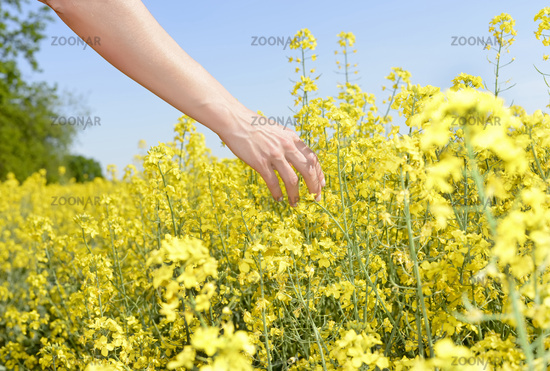 woman`s hand  in a  rape field