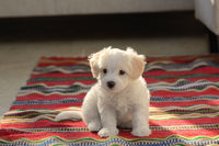 White puppy maltese dog sitting on carpet