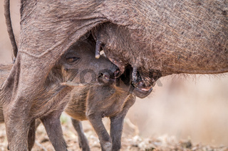 Two Warthog piglets suckling.