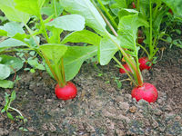 Red radish grows in the soil