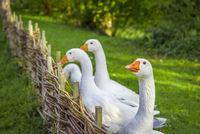 Goose looking at camera