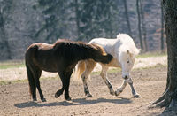 Two fighting Icelandic young stallions
