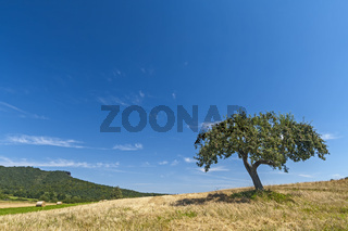 Apfelbaum (Malus domestica) im Sommer
