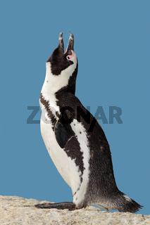 African penguin calling
