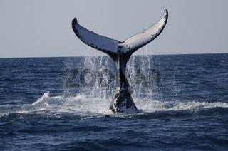 Tauchgang eines ausgewachsenen Humpbacks