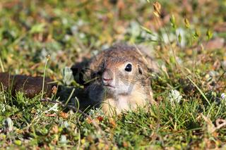 european ground squirrel looking at the camera ( Spermophilus citellus )