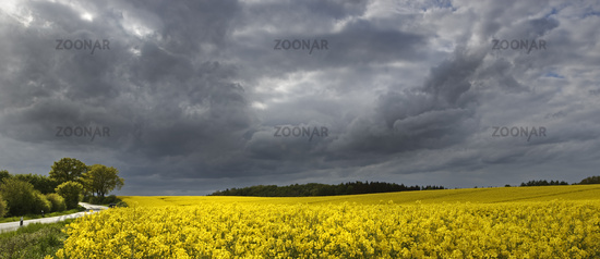 Blooming rape field with thunderclouds, Schleswig Holstein, Germany, Europe