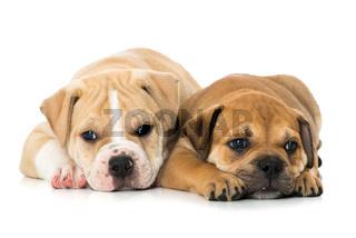 Zwei Bulldoggenwelpen