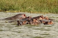 Bathing Hippos watching You