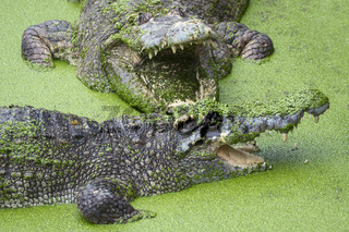 Crocodile with open mouth in green slime