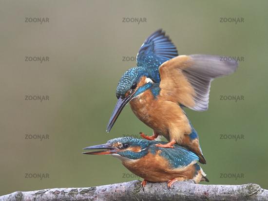 Common kingfisher, Alcedo atthis