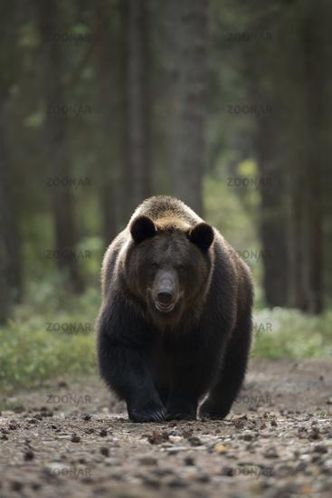 dangerous encounter... European Brown Bear *Ursus arctos*