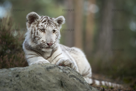 resting... white Royal Bengal Tiger *Panthera tigris*