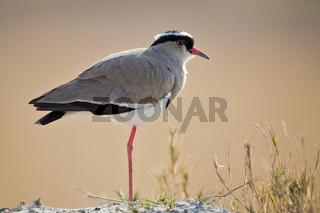 Kronenkiebitz, Kiebitz (Vanellus coronatus), Moremi National Park, Moremi Wildlife Reserve, Okavango Delta, Botswana, Afrika, Crowned Lapwing, Crowned Plover, Africa