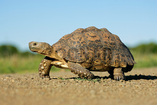 Mountain tortoise