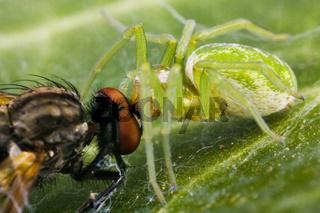Grüne Lauerspinne (Nigma walckenaeri) frisst Fliege - Nigma walckenaeri eats flys