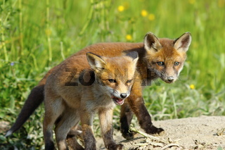 european red fox wild cubs curious about the the camera ( Vulpes vulpes )