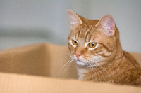 A red-tailed cat sits in a cardboard box