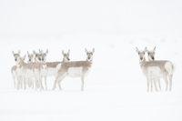in blowing snow... Pronghorns *Antilocapra americana*