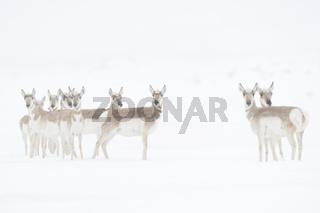 im Schneetreiben... Gabelbock *Antilocapra americana*