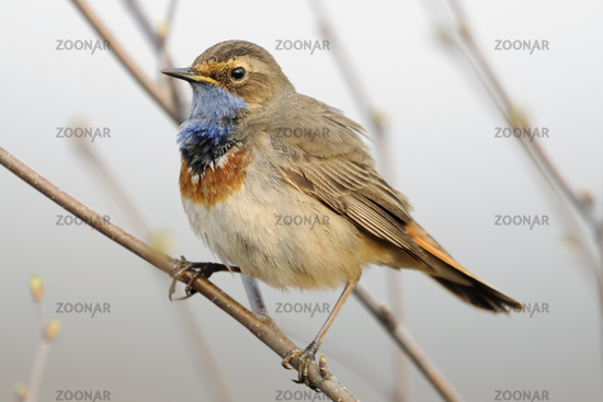 White-spotted Bluethroat * Luscinia svecica *