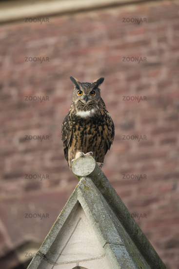 synanthropic species... Eurasian Eagle Owl *Bubo bubo* perched on top of a church gable