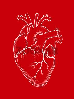 Heart. The internal human organ, anatomical structure.